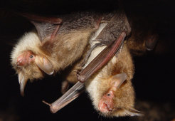 Why Bats Evolved to Hear Flies Having Sex