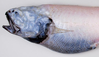 Newly discovered deep-water fish are some of the strangest and nastiest creatures on Earth