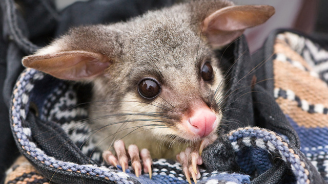New Zealand School Dresses Possums In Breathtaking Finery But Only Because the Possums Are Dead