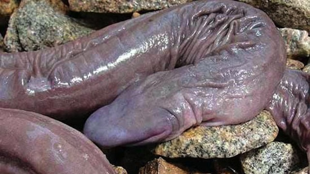 An Amphibian Limbless called 'The Penis Snake.'