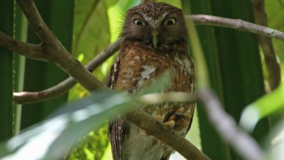 "Newly-discovered owl makes the ultimate ""mwhaha!"" face"