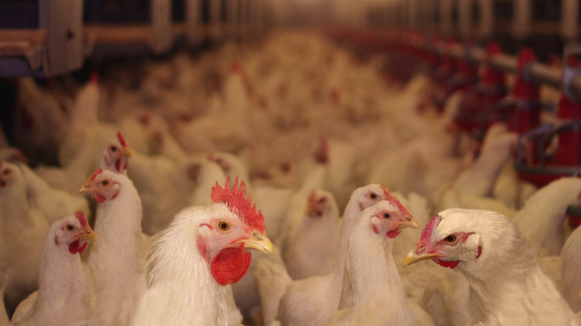 Maryland Man Gets Drunk, Kills 70,000 Chickens