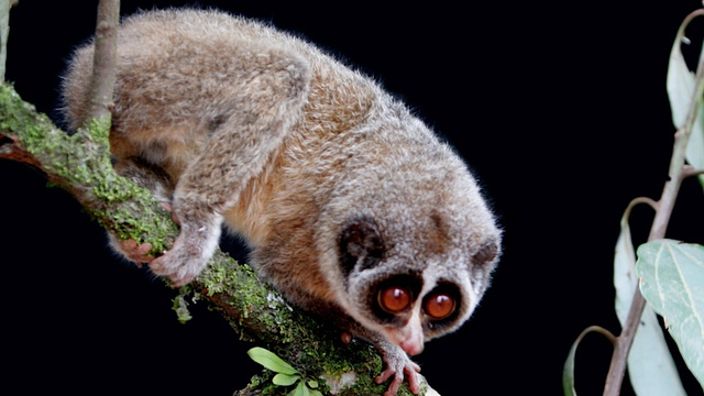 Slender Lorises Mistakenly Accept Invitation to Ill-Fated Pants Party