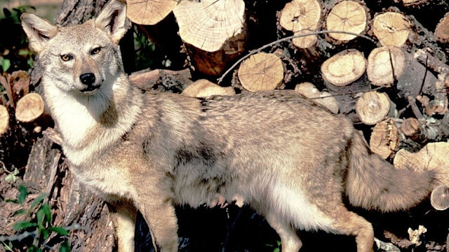 Urban Coyotes Are 100-Percent, Disney-Movie Monogamous