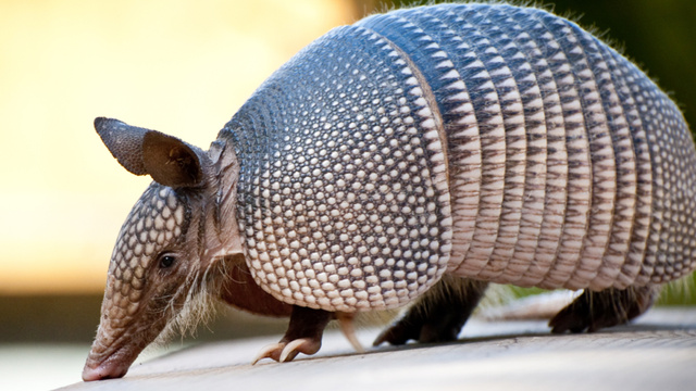 The power of armadillo penises: why more scientists should tell stories