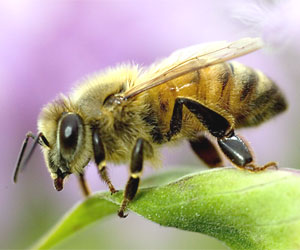 New project aims to upload a honey bee's brain into a flying insectobot by 2015