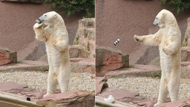 Watching This Polar Bear Smash a $2,000 Camera Lens Is Surprisingly Cute