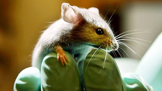 Geneticists create mice that find the smell of landmines irresistible
