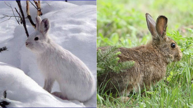 How (and why) animals change color with the seasons