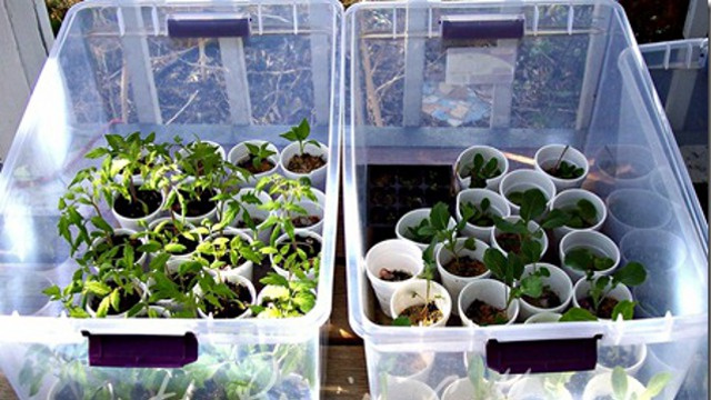 Repurpose Clear Storage Totes as Mini-Greenhouses