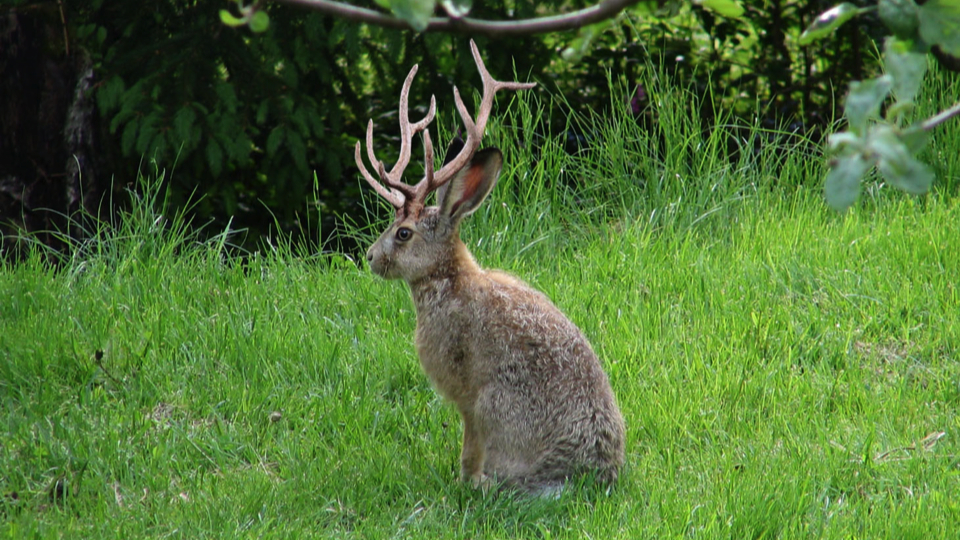... jackalope–a rare hybrid of jackrabbit and either white-tailed deer