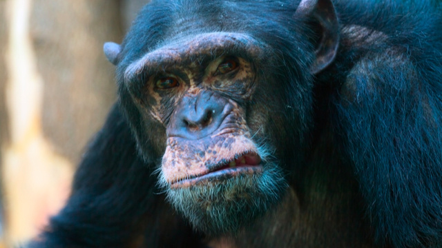 When chimps have a midlife crisis