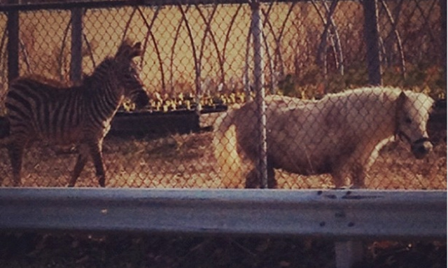 There's a Zebra Chasing a Pony Around Staten Island and No One Knows Where They Came From