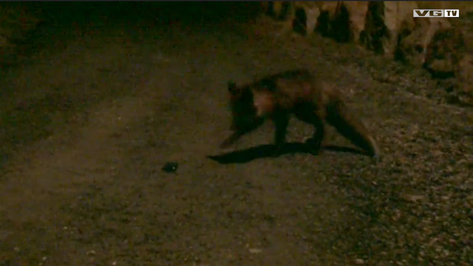 Watch This Fox Get Duped By A Dying Rabbit App
