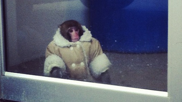 Coat-Wearing Monkey Gets Loose in an Ikea Parking Lot, Just Wants Some Damn Meatballs