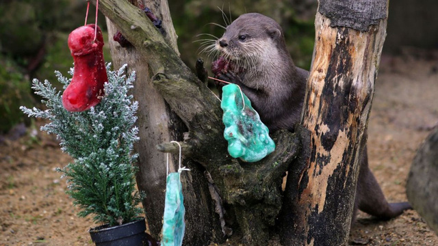 You Otter Enjoy Christmas as Much as These Critters Playing with Frozen Ornaments