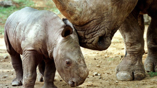 You Listened to Your Witch Doctor and Now the Tiny Rhinos are (Almost) Gone
