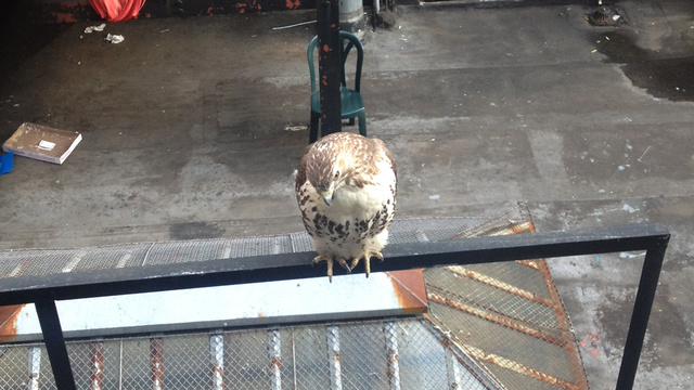 Deadspin Nature Moment: Right Now, There Is A Hawk Hunting Rats Outside The Office