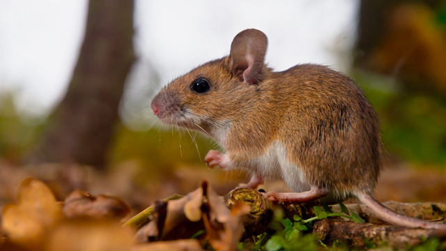 A drug that restores hearing in deaf mice
