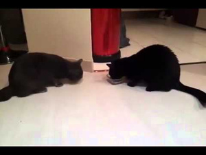 medium Two Cats Get Predictably Catty About Having to Share the Same Food Dish
