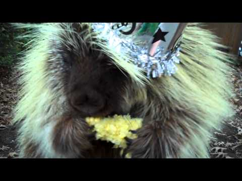 Click here to read This Partying Porcupine Talks Just Like a Pixar Character