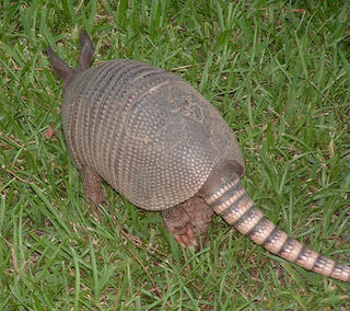 Armadillos, Leprosy, and... You?