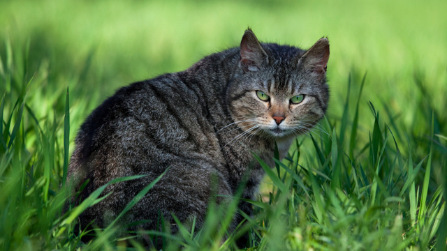Click here to read Domestic cats are destroying the planet