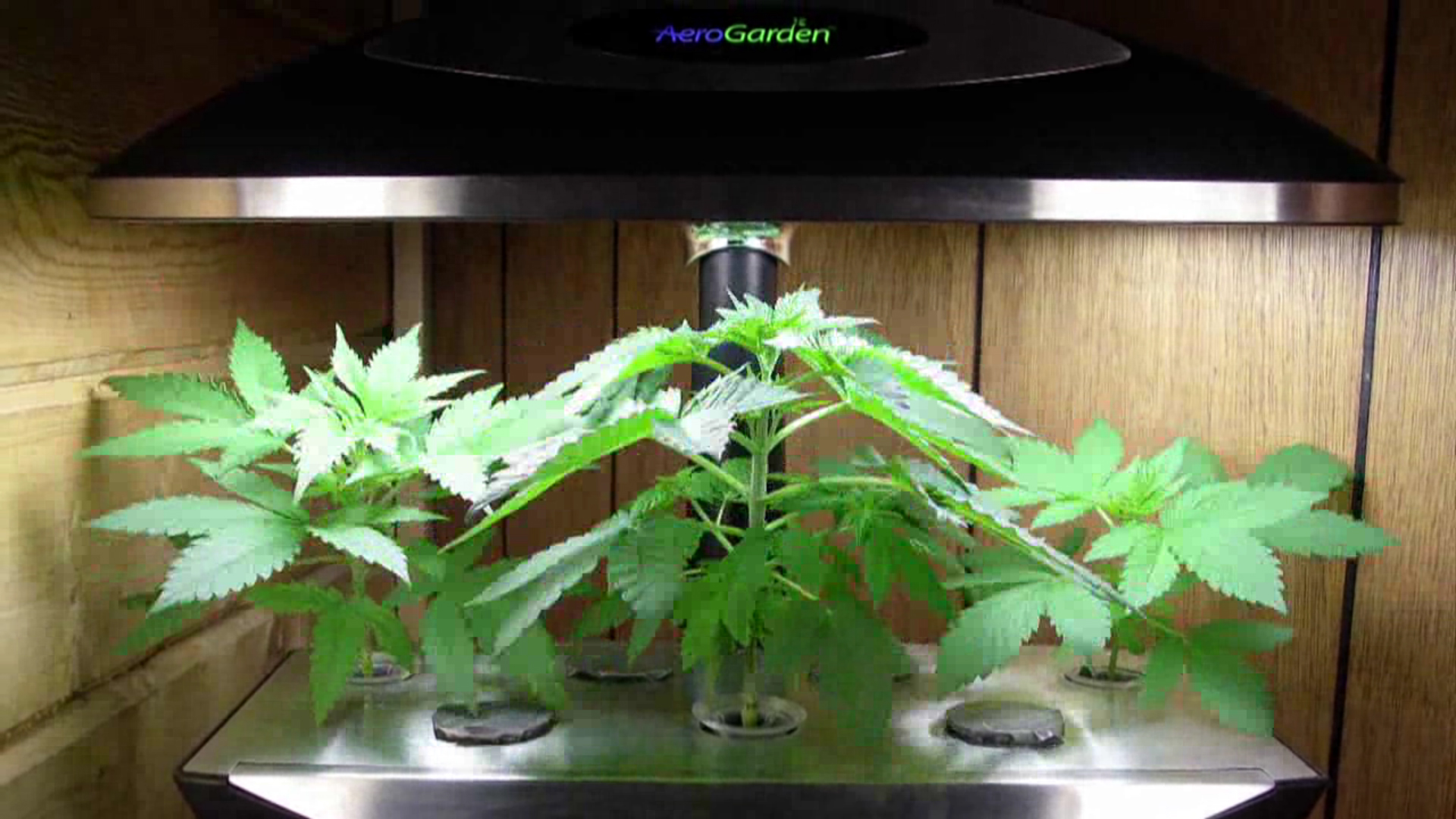 Growing Weed With AeroGarden Submited Images
