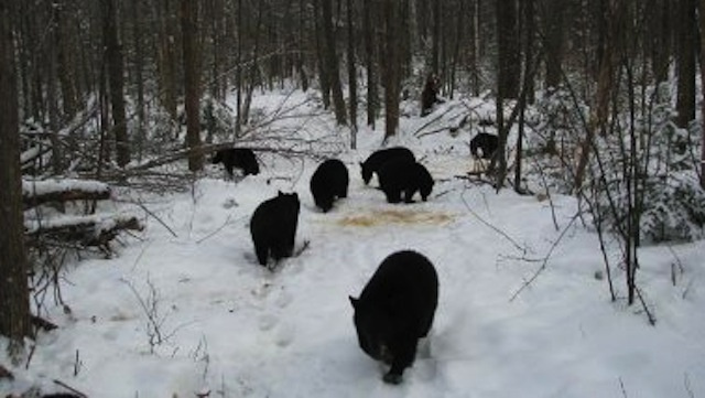 New Hampshire Man Can't Get His 27 Orphaned Bear Cubs To Go The Hell To Sleep