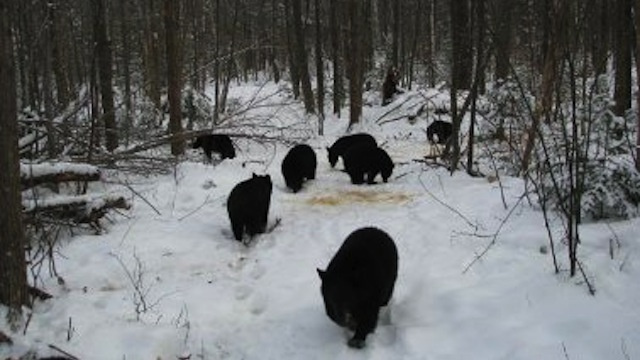 New Hampshire Man Can't Get His 27 Orphaned Bear Cubs To Go The…