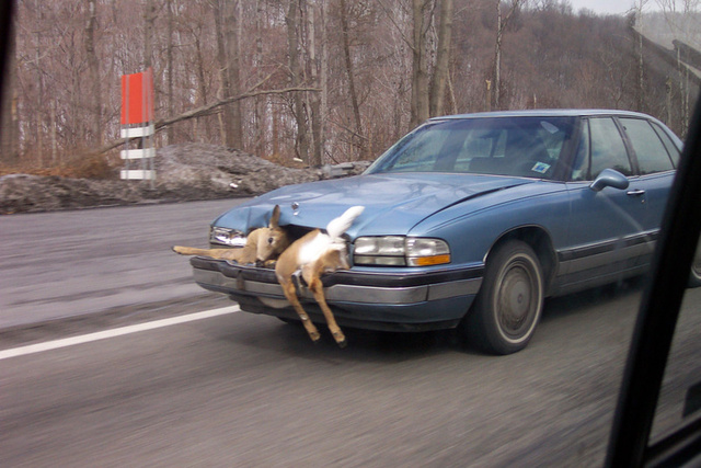 Deer Takes In Scenic Route... Through The Grill Of A Buick