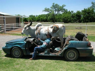 Brahman Bull In A Pontiac Grand Am
