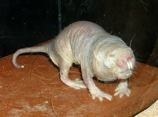 Naked Mole Rats Have Anti-Cancer Superpowers