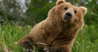In France, Brown Bears Desperately Need Women