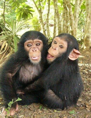 One Gene Tweak Could Make Chimps Talk