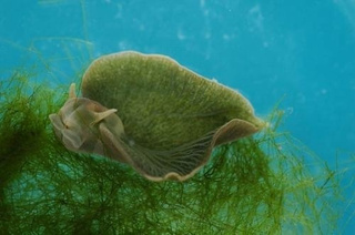 Photosynthetic Sea Slug Snarfs (And Steals) Algae DNA