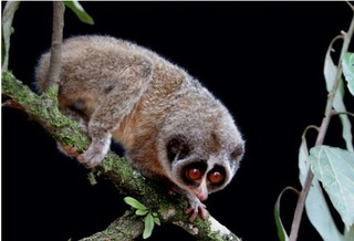 Six-inch-long, goggle-eyed primate photographed for the first time