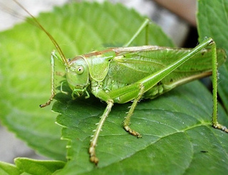 Bush-crickets have the world's biggest testicles (relatively speaking)