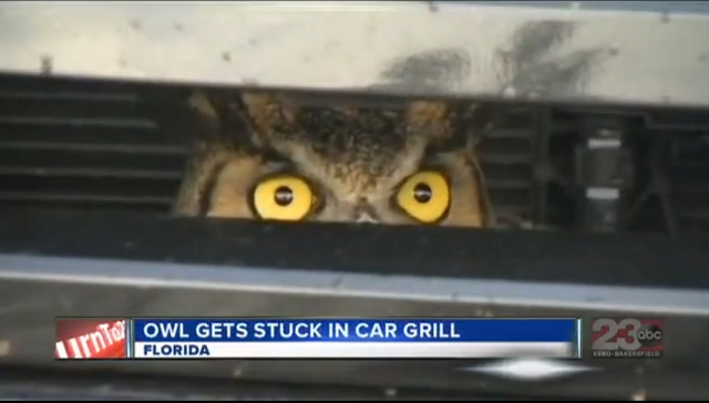 Amazing Story About Owl Stuck in Florida Woman's Car Grill Yields Amazing Animated GIF