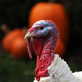 Gobble Gobble: Giving Thanks, Going Rogue