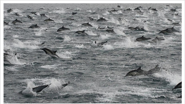 Don't Panic, But Thousands of Dolphins Were Spotted Swimming Away Off the Coast of San Diego