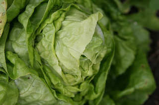 Buy Older Leafy Greens to Get More Nutrients