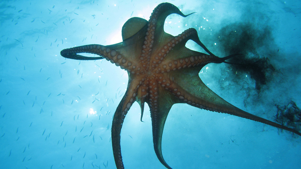 Octopus Suckers Are Moving Off Of Tentacles And Onto