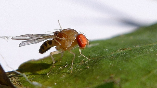 Fruit flies bathe their young in alcohol to keep them healthy
