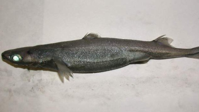 Lanternshark is part shark, part lightsaber, all awesome