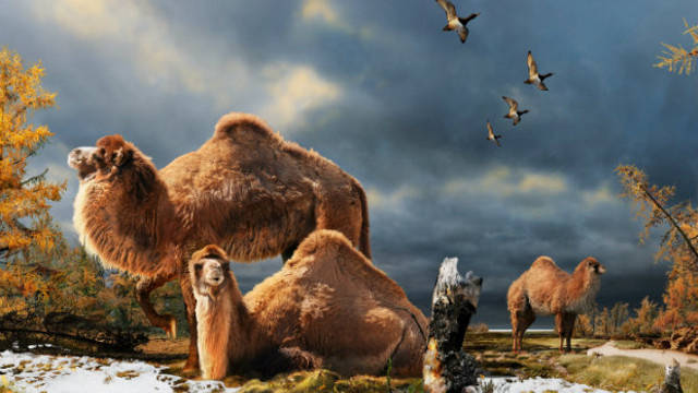 How Camels Evolved Their Humps — In Northern Canada