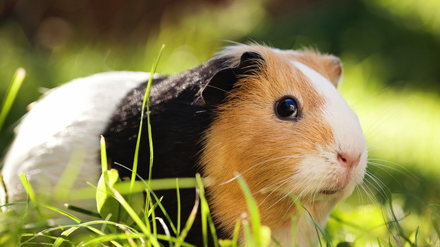 Student Banned From Carrying Guinea Pig on College Campus Receives $40,000 Settlement