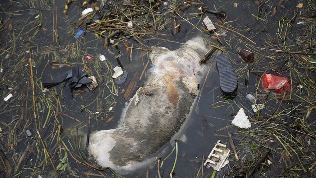 6,000 Disease-Ridden Dead Pigs Found Clogging a River in Shanghai