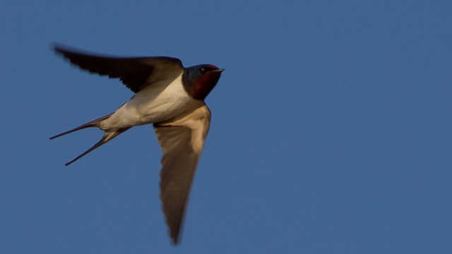 Click here to read Swallows Seem To Be Evolving to Avoid Cars
