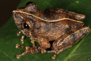 Scientists find 8 impossibly adorable new frogs in a single forest